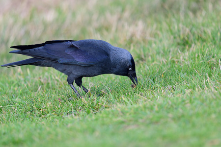Portrait of a jackdaw (coloeus monedula) foraging in the grass Imagens - 120847892