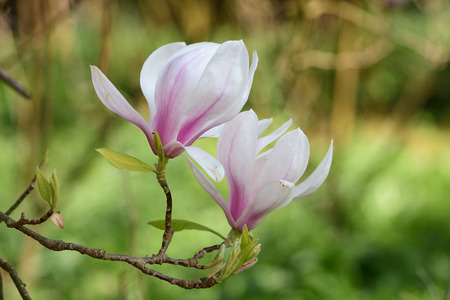 Close up of pink and white magnolia flowers in bloom