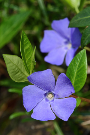 Close up of lesser periwinkle flowers (vinca minor) in bloom