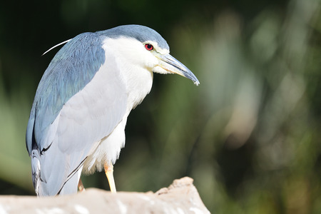 Portrait of a black crowned night heron (nycticorax nycticorax) perching on a rock