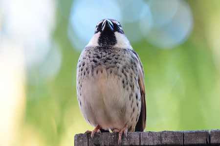 Portrait of a Spanish sparrow (passer hispaniolensis) perching on a wooden sign Imagens