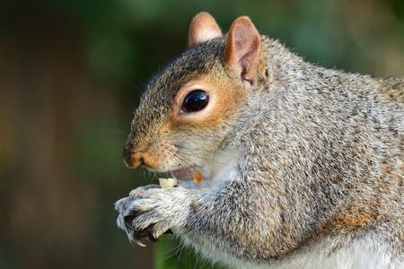 Close up of a grey squirrel (sciurus carolinensis) eating a nut