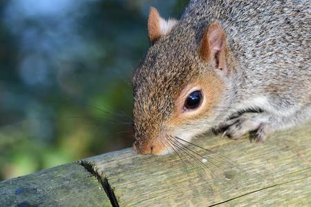 Head shot of a grey squirrel (sciurus carolinensis) on a wooden fence