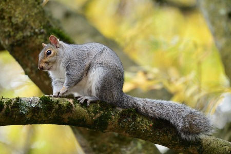 Portrait of a grey squirrel (sciurus carolinensis) sitting on a branch in a tree Imagens