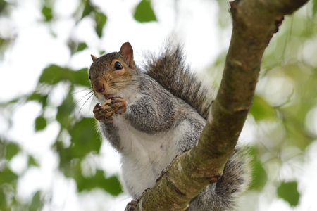 Portrait of a grey squirrel (sciurus carolinensis) sitting in a tree while eating a nut