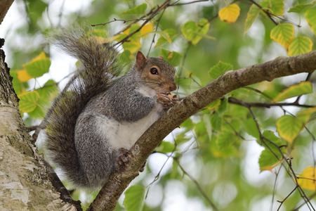 Portrait of a grey squirrel (sciurus carolinensis) sitting on a branch while eating a nut