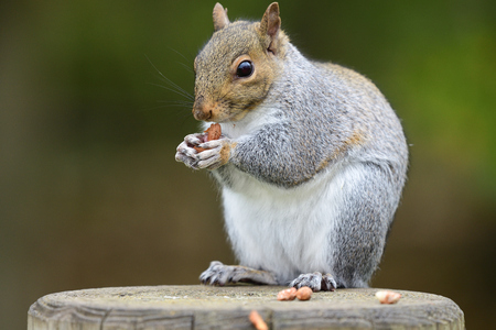 Portrait of a grey squirrel (sciurus carolinensis) sitting on a wooden post while eating a nut
