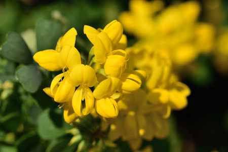 Close up of sweet broom (genista stenopetala) flowers in bloom