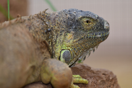 Close up portrait of a green iguana (iguana iguana) Imagens