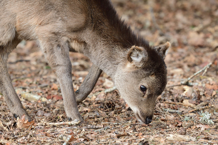 Portrait of a young sika deer (cervus nippon) grazing on the woods Imagens