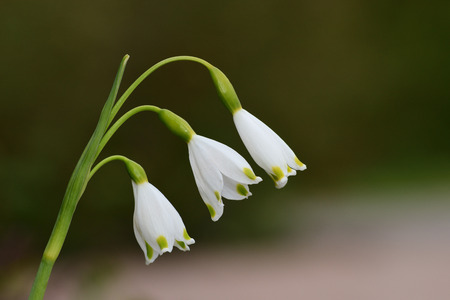 Close up of a spring snowflake (leucojum vernum) flower in bloom