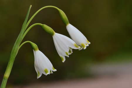 Close up of a spring snowflake (leucojum vernum) flower in bloom