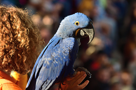 Portrait of a hyacinth macaw (anodorhynchus hyacinthinus) perching on a persons hand