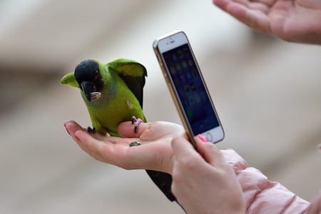 Portrait of a person taking a photo of a nanday parakeet (aratinga nenday) eating seeds out of a persons hand Imagens