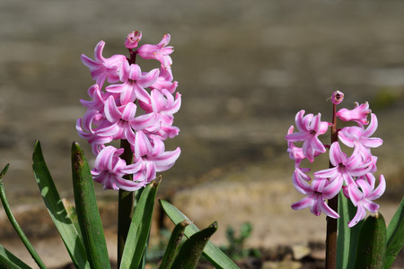 Close up of pink hyacinth flowers in bloom