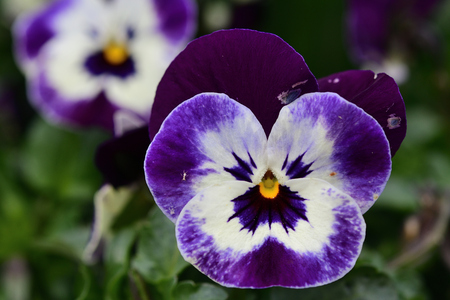Close up of purple and white pansy flowers in bloom