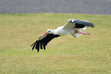 Close up of a white stork (ciconia ciconia) in flight Imagens