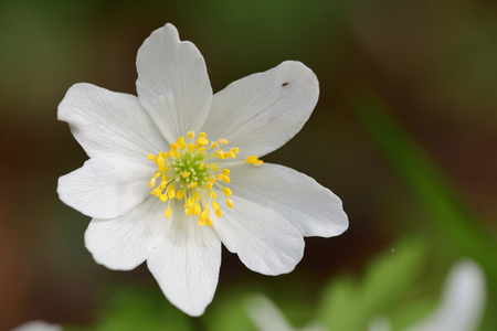Close up of a wood anemone (anemone nemorosa) flower in bloom Imagens