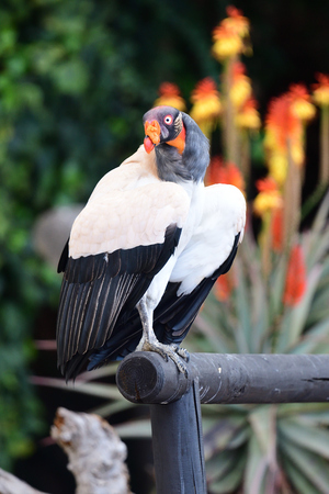 Portrait of a king vulture (sarcoramphus papa) perching on a wooden rail
