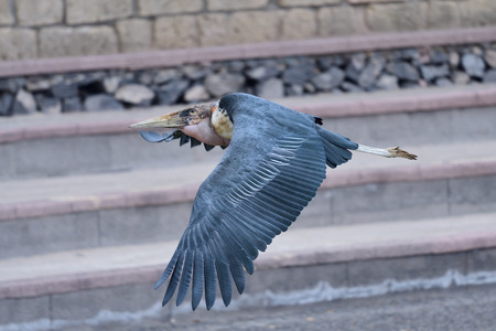 Close up of a marabou stork (leptoptilos crumenifer) flying in a falconry display Imagens