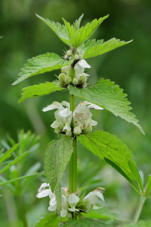 Close up of a stinging nettle (urtica dioica) plant in blossom Imagens