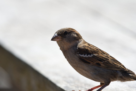 Portrait of a sparrow perching on a picnic table Imagens