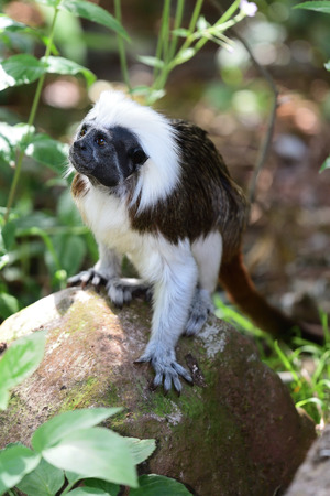 Portrait of a cotton top tamarin (saguinus oedipus) standing on a rock Imagens