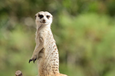 Portrait of a meerkat (suricata suricatta) standing up
