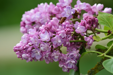 Close up of common lilac (syringa vulgaris) flowers in bloom Imagens