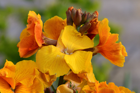 Close up of yellow erysimum (wallflower) flowers in bloom