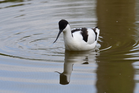 Portrait of a pied avocet (recurvirostra avosetta) swimming in the water Imagens