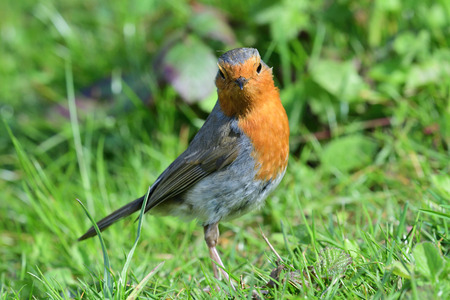 Portrait of a European robin (erithacus rubecula) standing on the grass