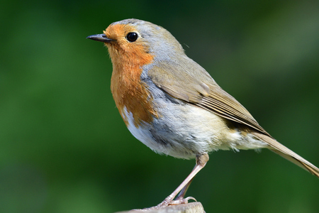 Side view of a Euopean robin (erithacus rubecula) with a green background