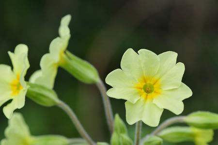 Close up of common primroses (primula vulgaris) in bloom 免版税图像