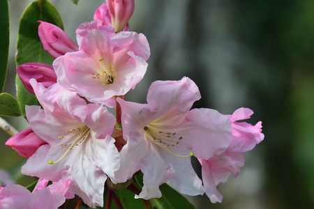 Close up of pink rhododendrons in bloom