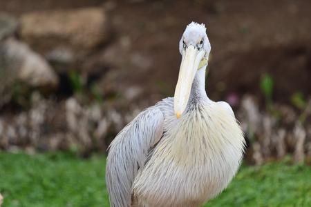 Close up portrait of a pelican Imagens
