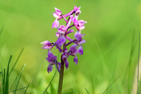 Close up of an early purple orchid (orchis mascula) flower in bloom