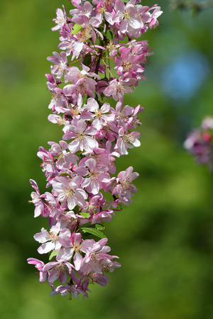 Close up of a branch of pink cherry blossom with a green background Imagens