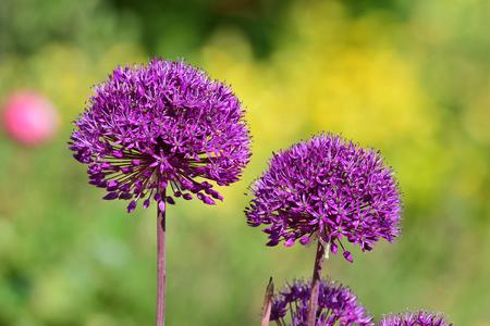 Close up of purple allium flowers in bloom in the garden