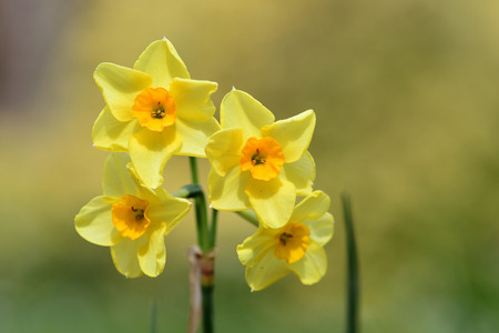 Close up of daffodils (narcissus) in bloom
