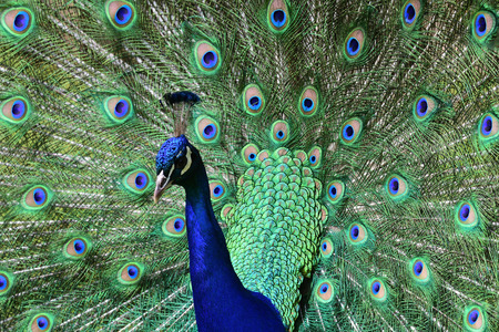 Close up portrait of a peacock (pavo cristatus) fanning out its tail feathers Imagens
