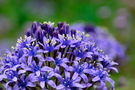 Close up of a Portugese squill (scilla peruviana) flower in bloom