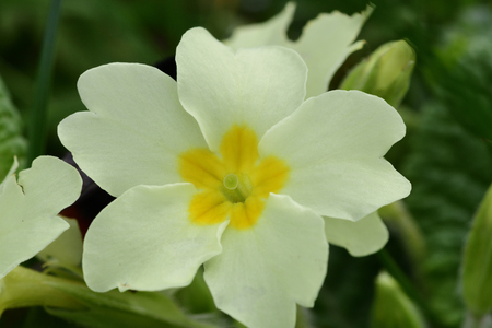 Close up of common primroses (primula vulgaris) in bloom Banco de Imagens