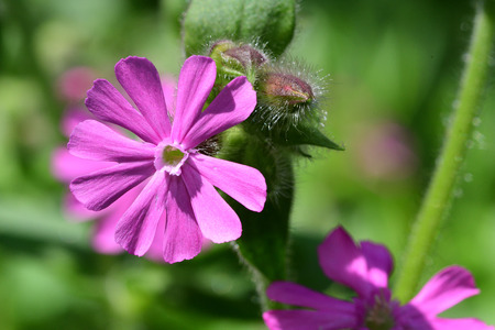 Macro shot of a red campion (silene dioica) flower in bloom Imagens