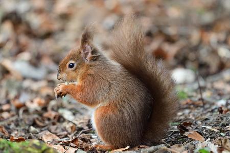 Portrait of a red squirrel (sciurus vulgaris) eating a nut