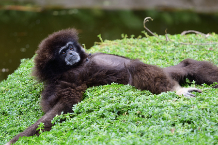Portrait of a gibbon lying on the ground by the waters edge