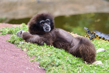 Portrait of a lar gibbon (hylobates lar) lying on the ground by the waters edge Imagens