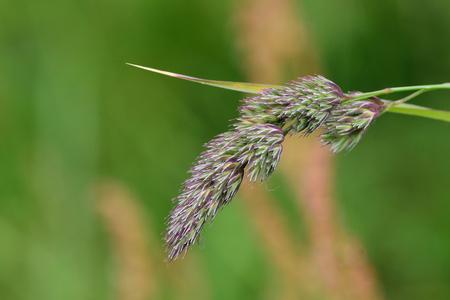Macro shot of Yorkshire fog (holcus lanatus) grass