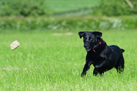 Action shot of a young black Labrador running through a field to retrieve a stone 写真素材
