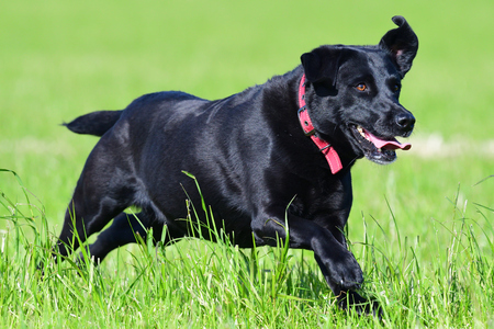 Action shot of a young black Labrador running through a field 写真素材